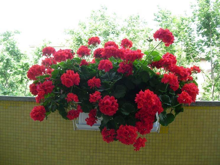 Geranio coltivato in vaso