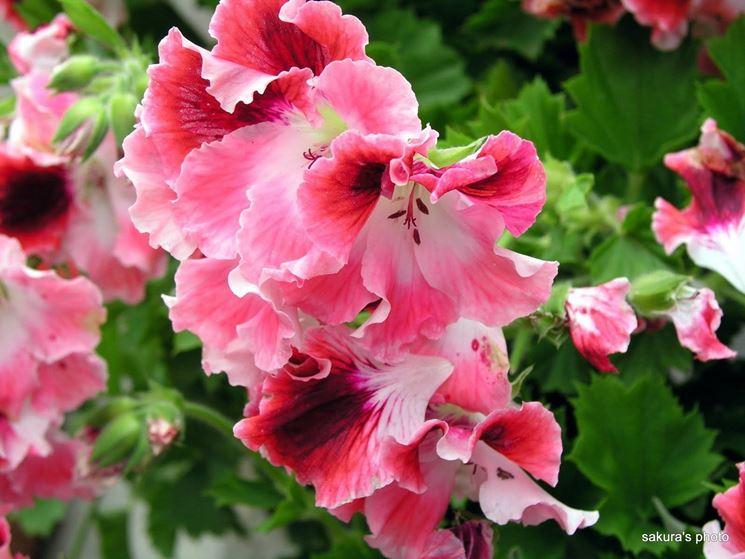 Fiore di Pelargonium macranthum