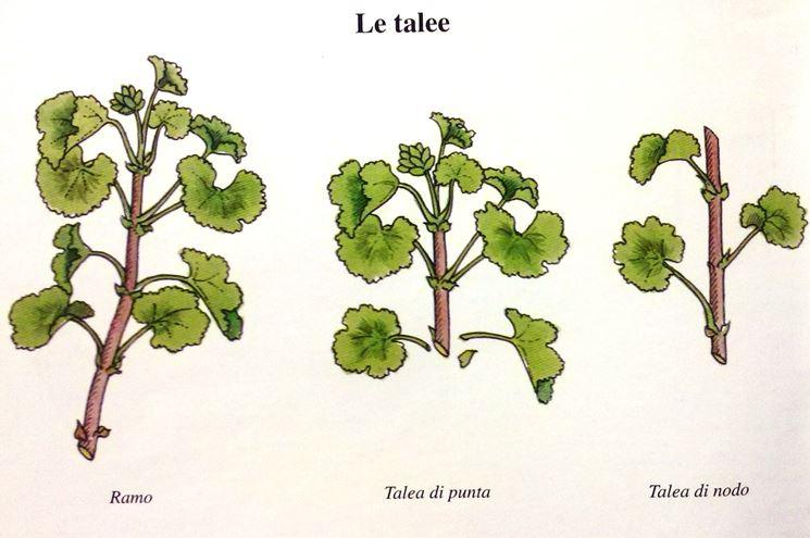 Periodo Per Potare Le Piante : Potatura gerani geranio potare i