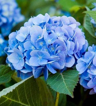 Ortensie blu; il colore è dato dal ph del terreno, in questo caso acido