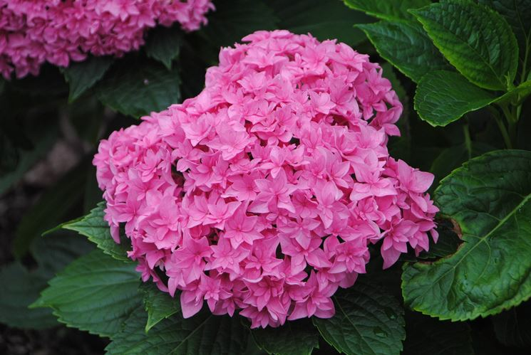 Ortensie rosa