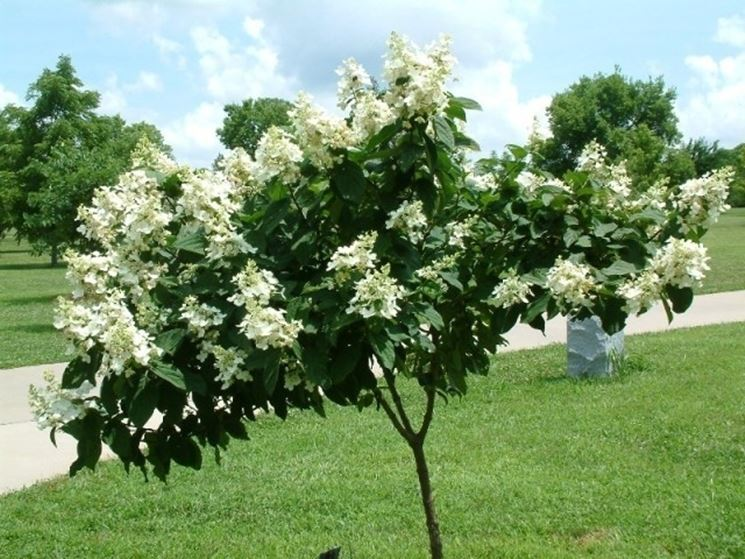 Hydrangea paniculata ortensia hydrangea paniculata for Arbusti ad alberello