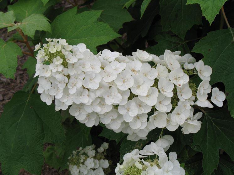 Hydrangea Quercifolia Bianca