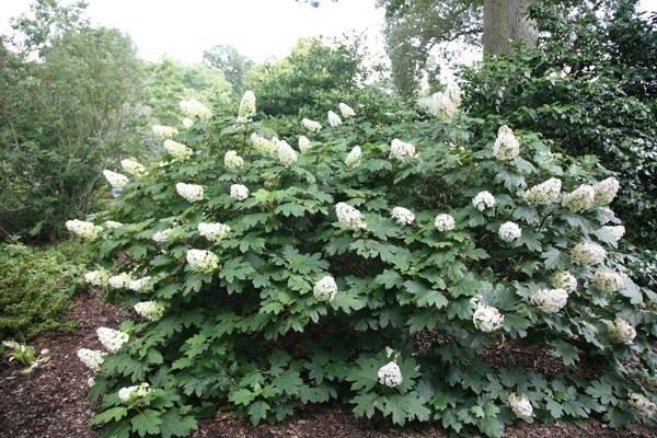 Hydrangea quercifolia ortensia hydrangea quercifolia for Ortensia quercifolia