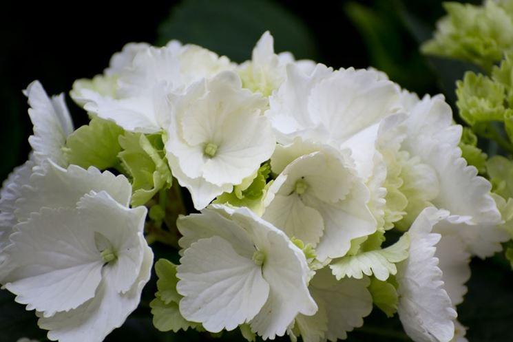 Esemplare di ortensia bianca