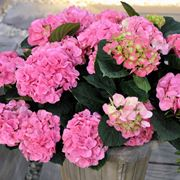 Hydrangea rosa vaso