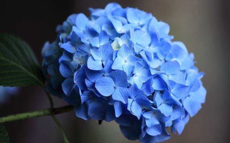 Esempio di ortensia dai petali blu.