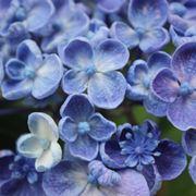 Hydrangea blu a