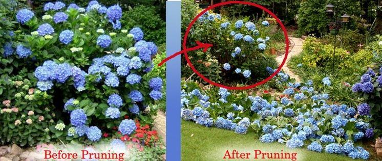 Prima e dopo la potatura