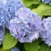 ortensie fioritura