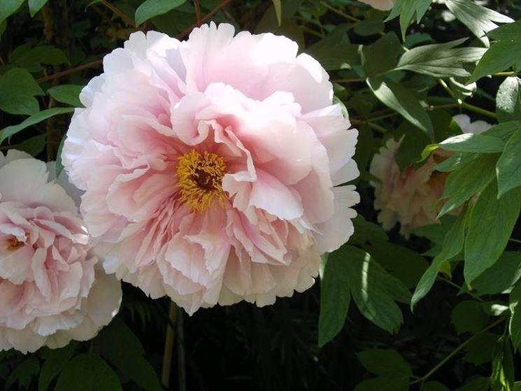 Un fiore di peonia