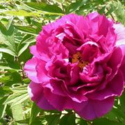 Fiore di peonia