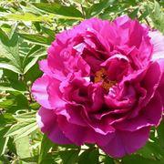 fiore peonia