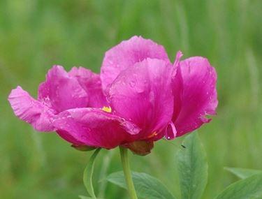 Esemplare di fiore di peonia