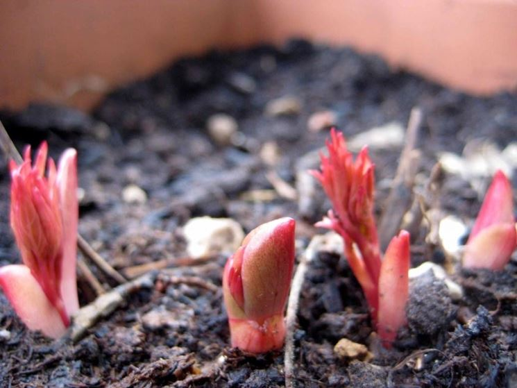 Nuove piante peonia