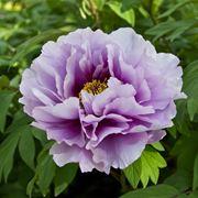 Fiore di Paeonia