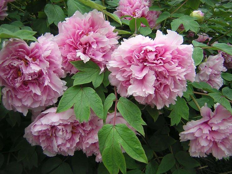 Paeonie rosa