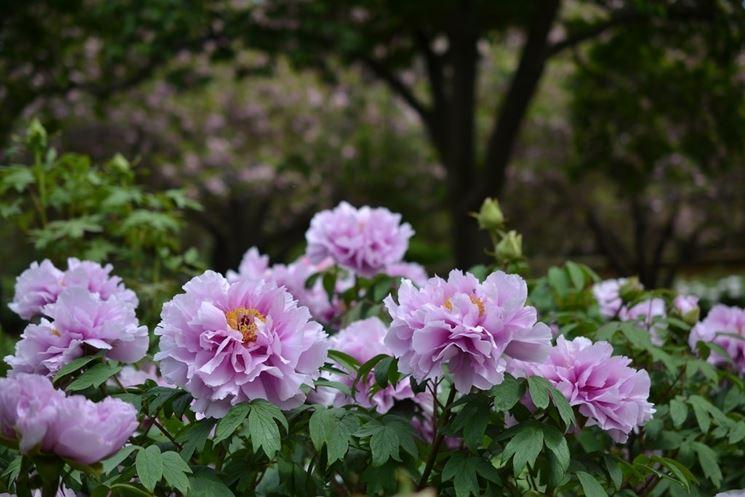 Peonia arbustiva peonia coltivare peonia for Peonie periodo
