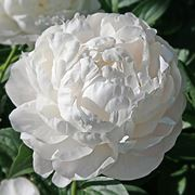 fiore peonia bianca
