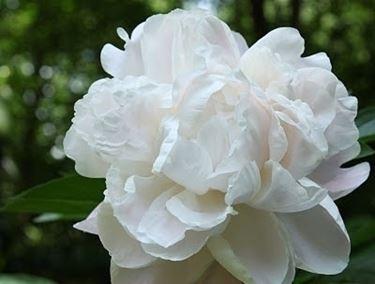 Peonia bianca in un giardino