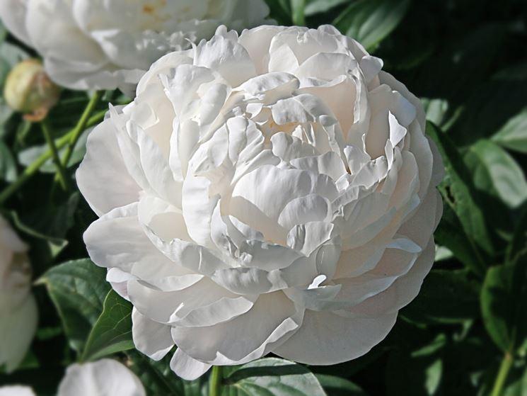 fiore peonia bianca