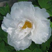 peonia fioritura