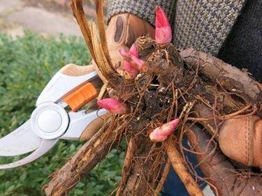 pianta di peonia erbacea pronta per l'impianto