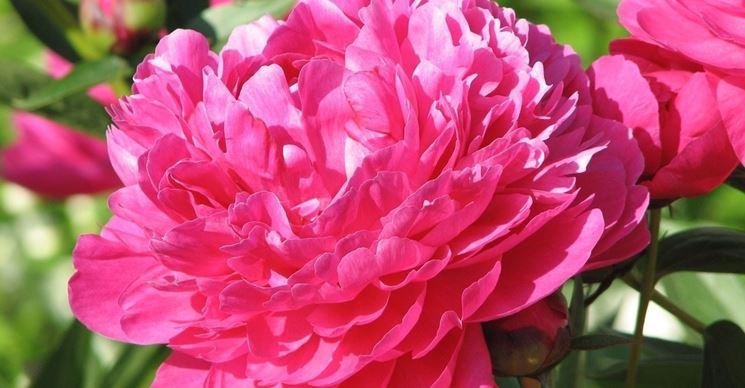 una peonia rosa acceso