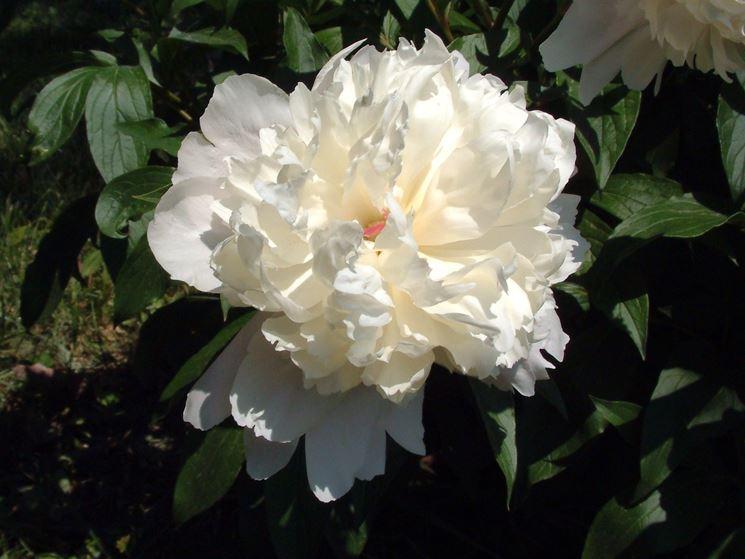 la delicatissima peonia bianca