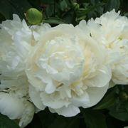 peonie bouquet