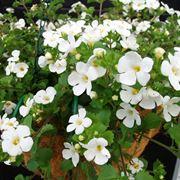 bacopa fiori