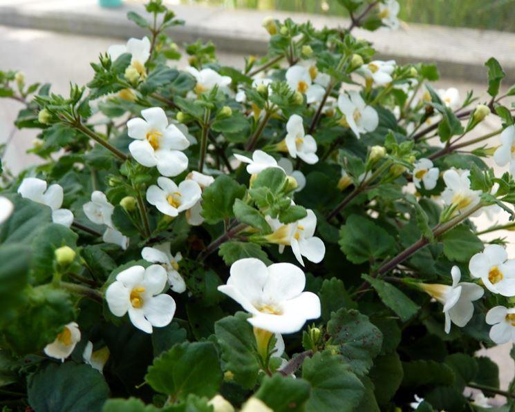 Piante Acquatiche Vendita : Bacopa piante acquatiche caratteristiche del