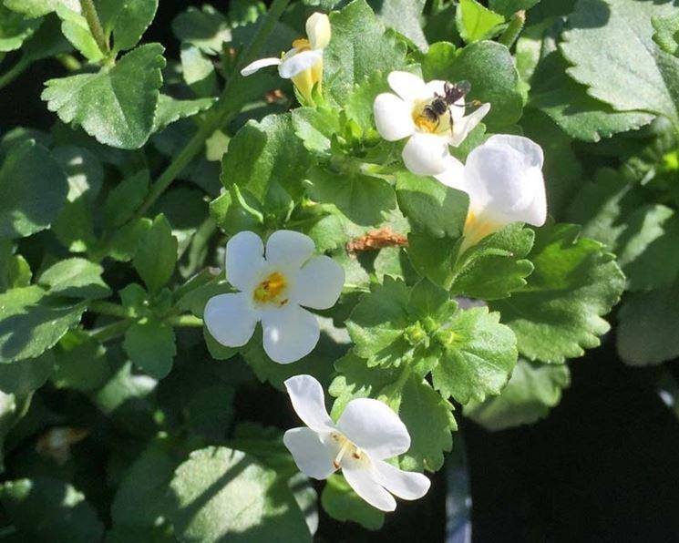 Bacopa fiorita
