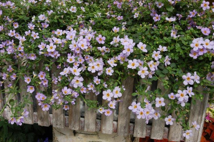 Bacopa con fiori lilla