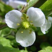 fiori echinodorus