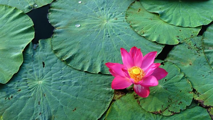 fior di loto rosa