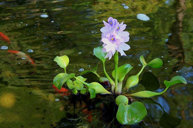 Esemplare giacinto acqua