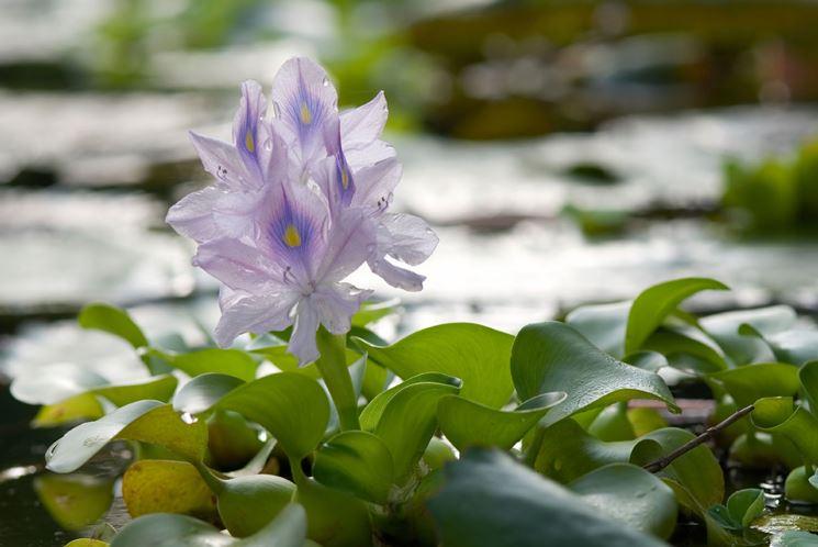 Fiore giacinto d'acqua