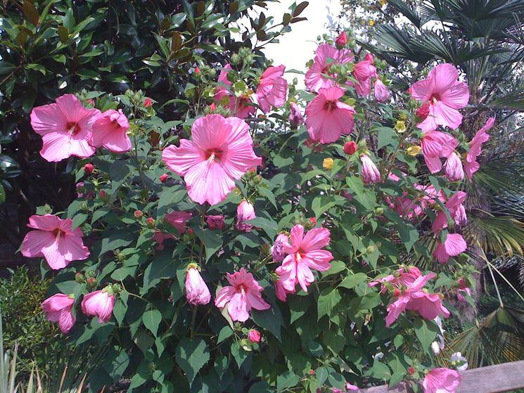 Esemplare hibiscus palustris