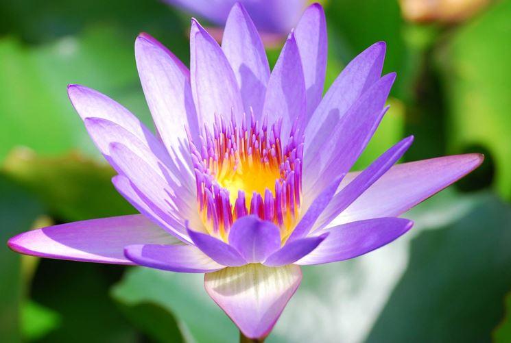 Esemplare di loto violaceo