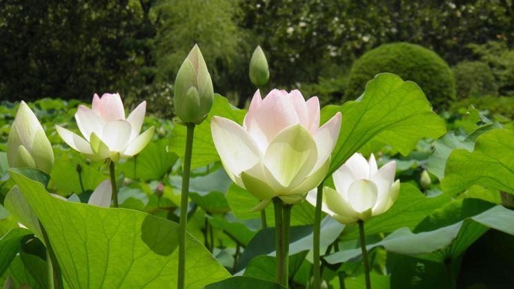Esemplari di fiori di loto