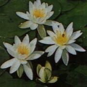 ninfea fiore