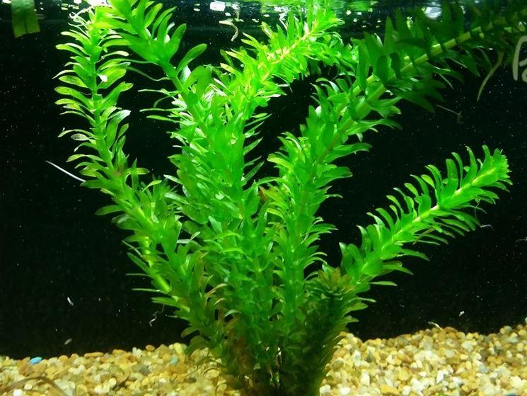 piante ossigenanti piante acquatiche piante acquatiche