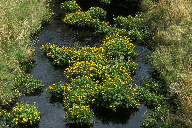 piante palustri piante acquatiche tipologie di piante