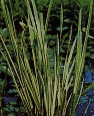 acorus variegatus