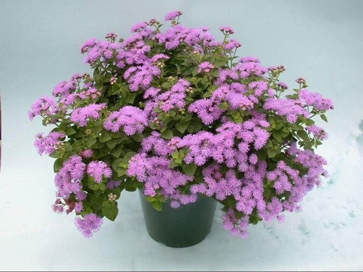 Agerato ageratum houstonianum piante annuali - Settembrini fiori ...