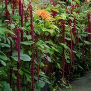 Amaranthus fiorito