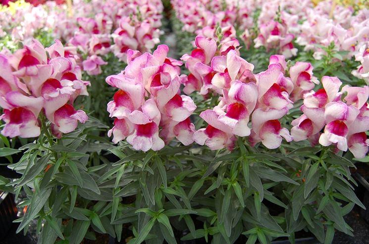 Prato ricoperto di fiori di Antirrhinum