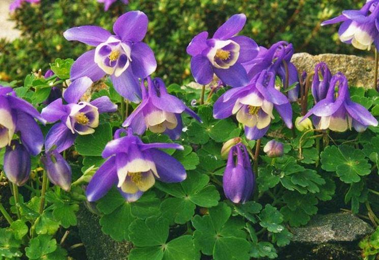 Piante fiori Aquilegia