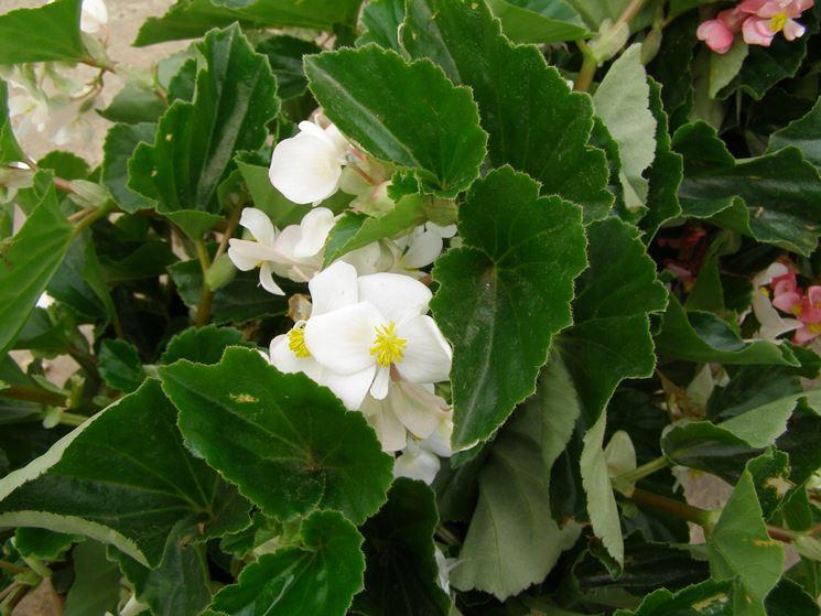 begonia dragon bianca